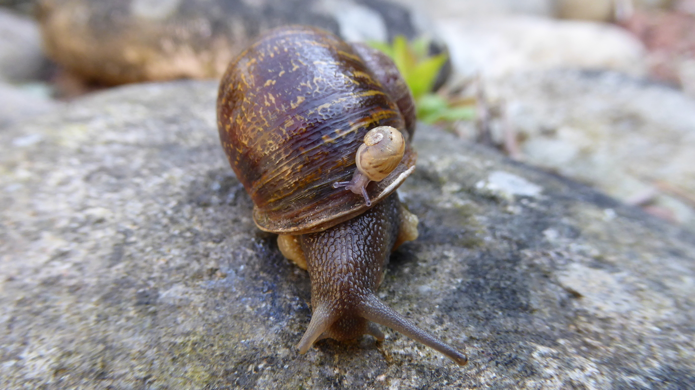 TIL there was a global search to find a mate for Jeremy, a rare left-coiling snail. Because his shell coiled counterclockwise, the opposite direction of typical snails, his sex organs could not align with others. Two candidates were found but they proceeded to mate with each other instead of Jeremy.
