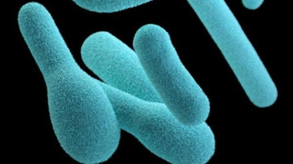 A depiction of Clostridium botulinum, the bacteria that create a deadly toxin. The preformed toxin can be found in home-canned foods and some retail products, such as canned cheese, chili sauces and oil infused with garlic.