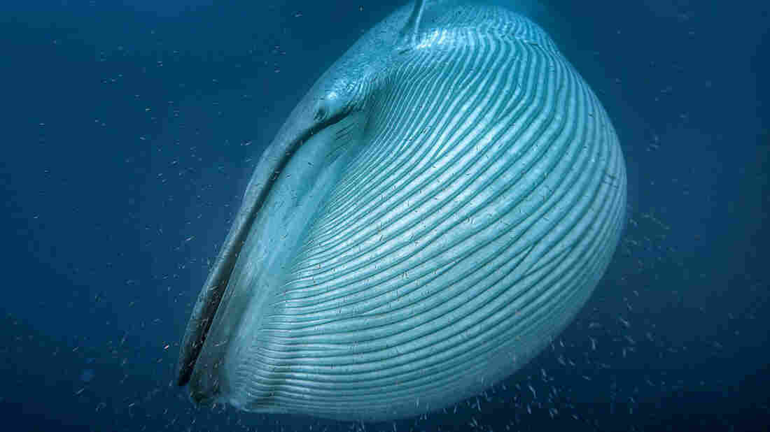 Blue Whales Weren't Always The Giants They Are Today