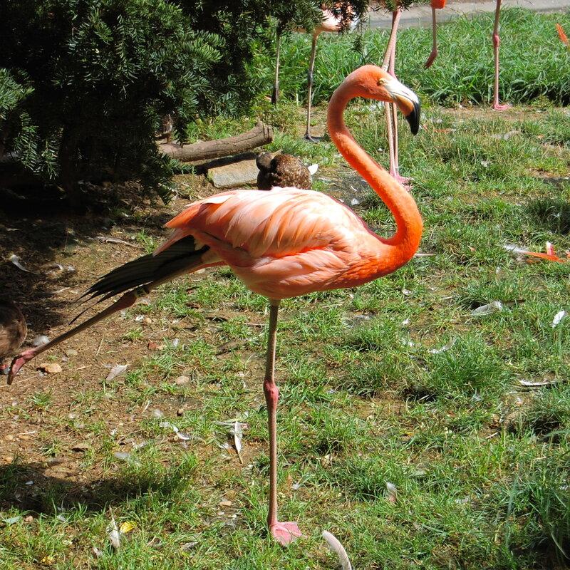 Florida S Long Lost Wild Flamingos Were Hiding In Plain Sight Npr