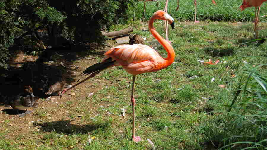 Scientists Pinpoint How A Flamingo Balances On One Leg