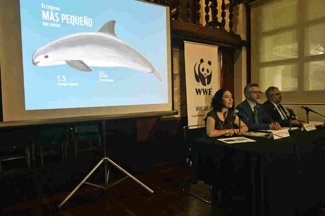In Mexico, A Last-Ditch Effort To Save The Vaquita, On The Verge Of Extinction