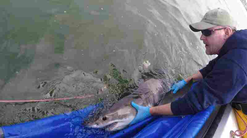 How An Interview With A Shark Researcher Wound Up Starring A Shark