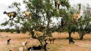 Do Tree-Climbing Goats Help Plant New Trees?