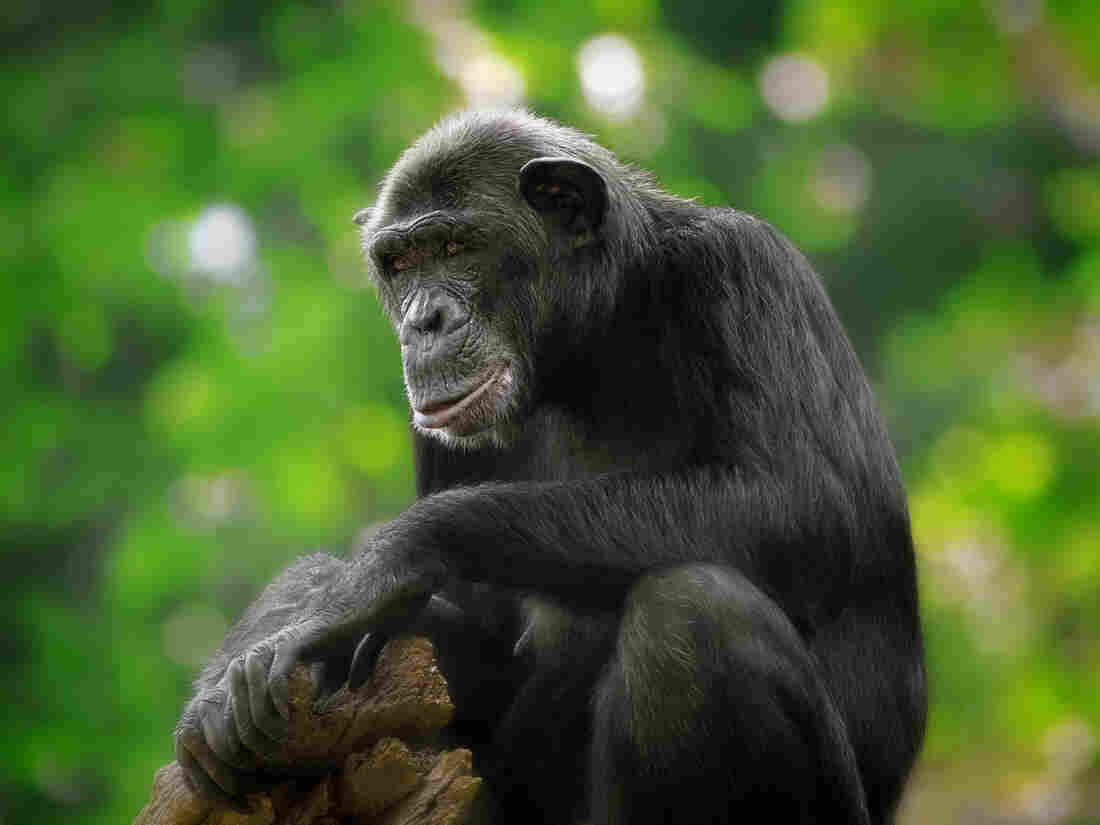 Are chimpanzees spiritual?