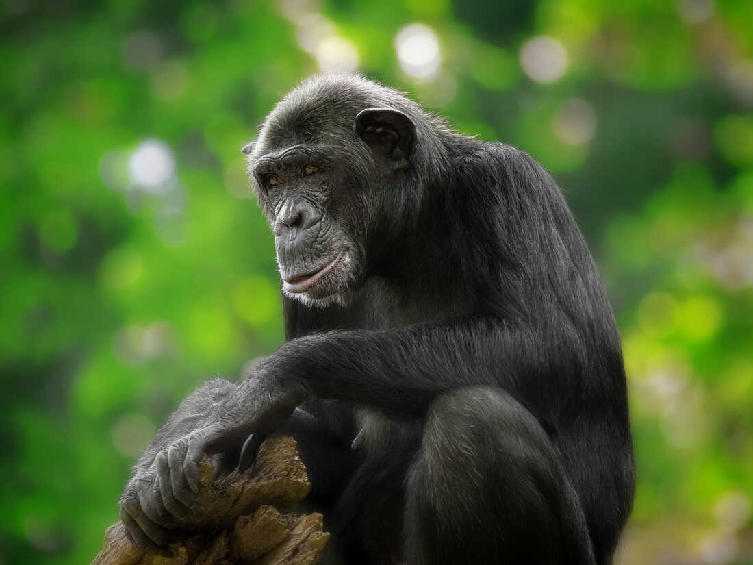 Are chimpanzees spiritual?