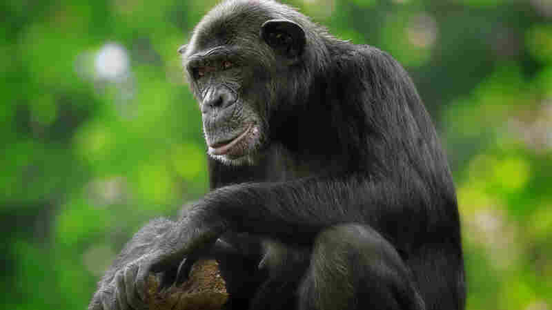 A Twist In Discussions Of Chimpanzee Spirituality