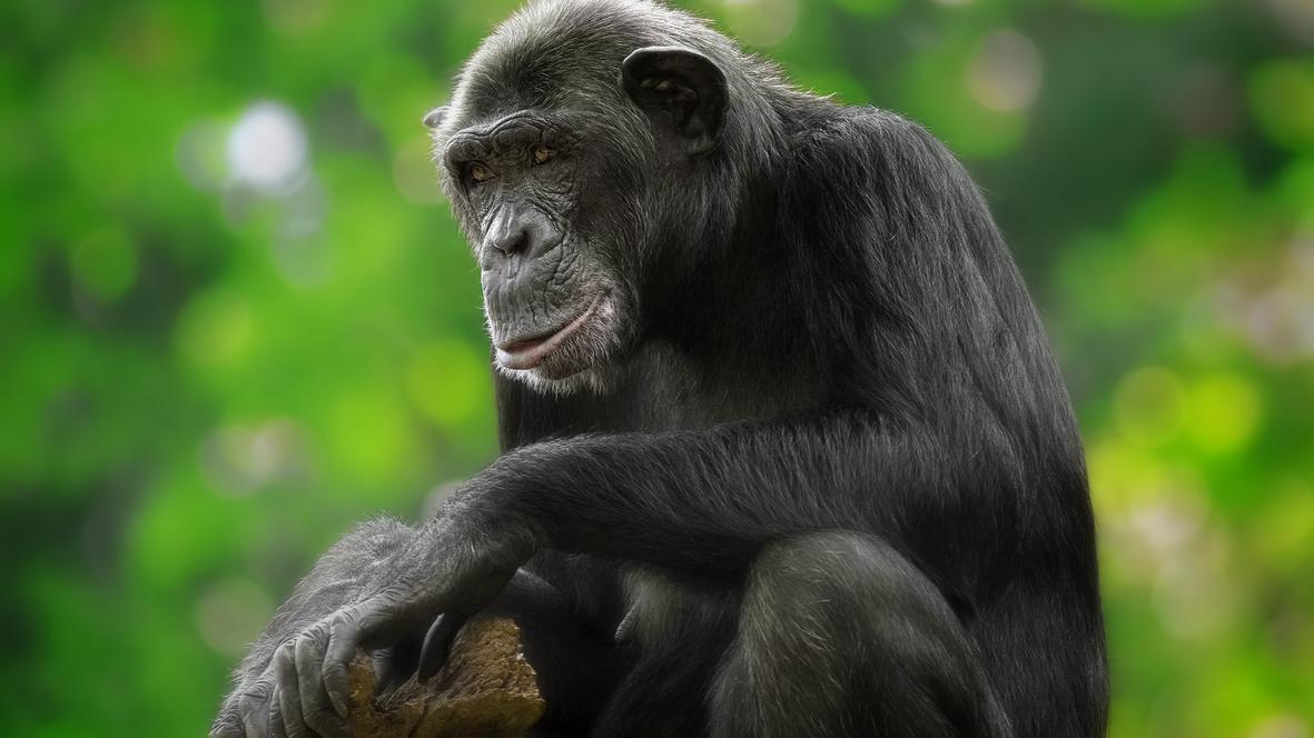 a twist in discussions of chimpanzee spirituality 137