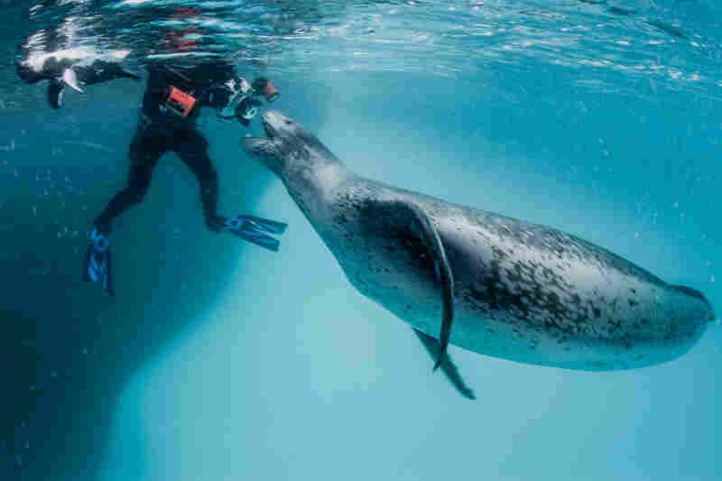"This leopard seal started getting aggressive and began giving guttural vocalizations, which could have been signs of aggression. ""I want to get close, but I also never want to harass an animal,"" Paul Nicklen says."