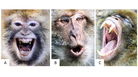 """Never take Barbary macaques — or any nonhuman primate for that matter — at face value. That """"smile"""" does not mean what you think it does."""