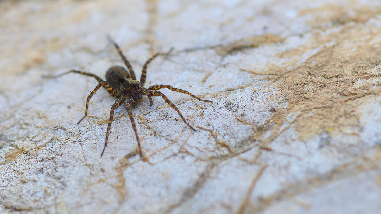 jumping spiders npr