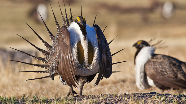 The U.S. Department of the Interior has ordered an internal review of sage grouse plans and programs.