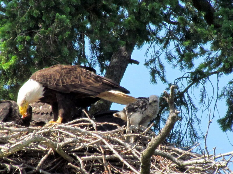 Eagles Adopt Baby Red-Tailed Hawk, Putting Aside Violent