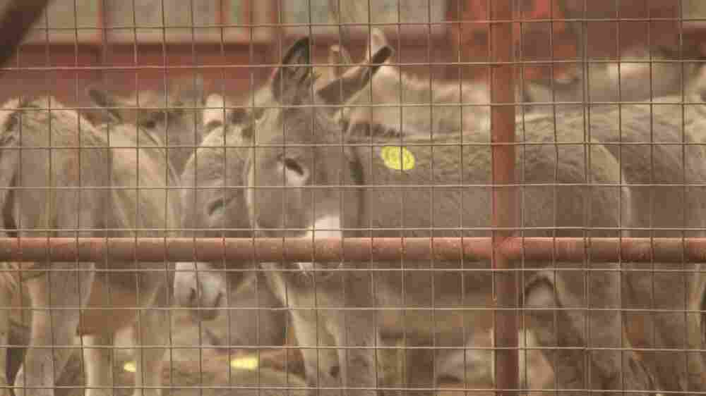 Amid Growing Threats, Donkey Rescuers Protect The Misunderstood Beasts Of Burden