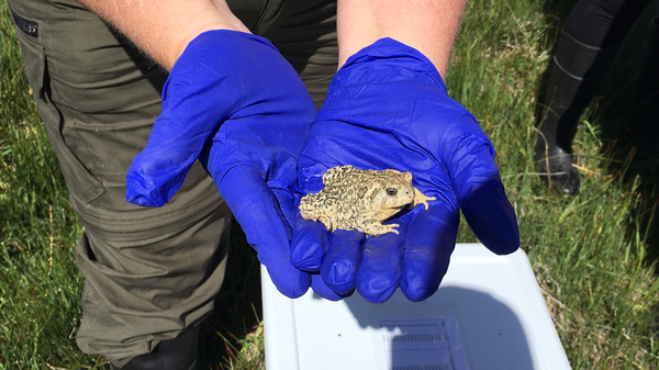 The Wyoming toad population in 1985 totaled 16. Today, there are 1,500 and it remains as one of 12 endangered species in the state.