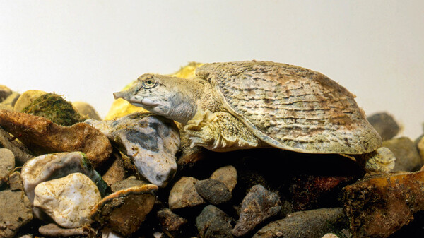 Cholera bacteria can colonize the outer surfaces of the Chinese soft-shell turtle, a species that