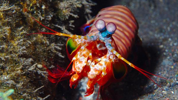 A mantis shrimp shows its dazzling colors.