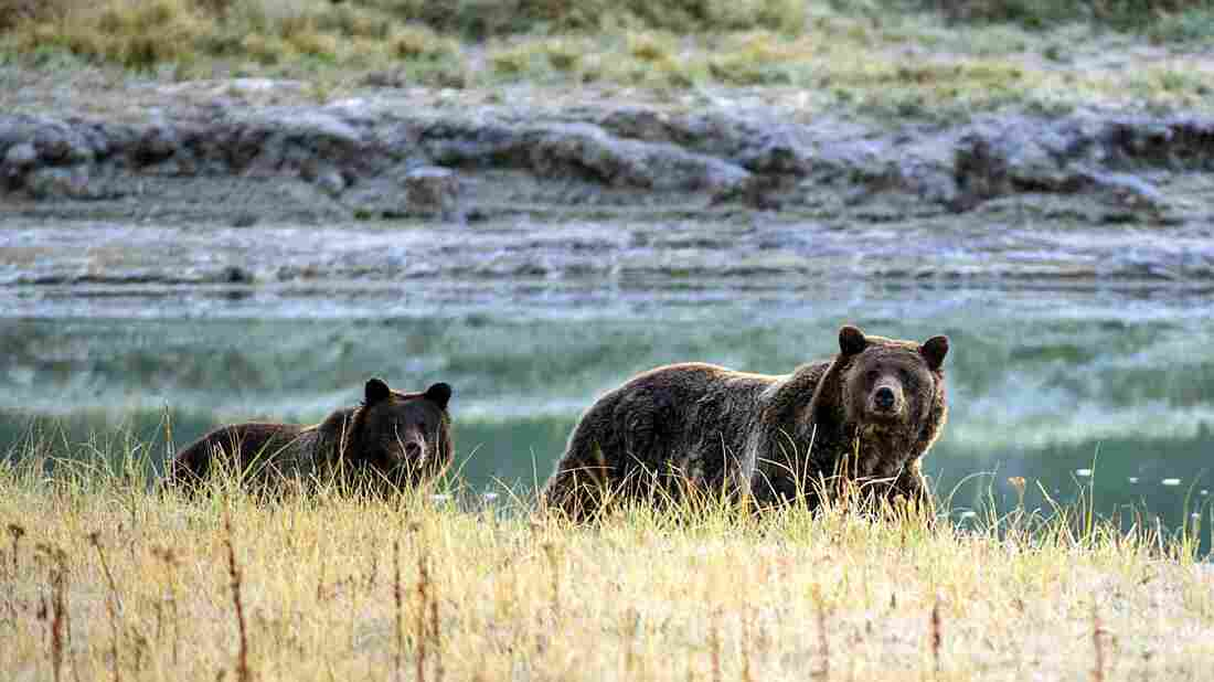 Endangered species: Grizzly Bears back in danger. Thanks, Trump