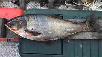 'Cause For Serious Concern': Invasive Carp Caught 9 Miles From Great Lakes