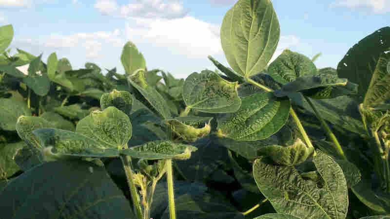Arkansas Tries To Stop An Epidemic Of Herbicide Damage