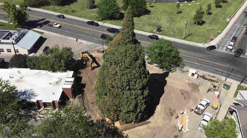 What Does It Take To Move A 10-Story Tree A Couple Of City Blocks?