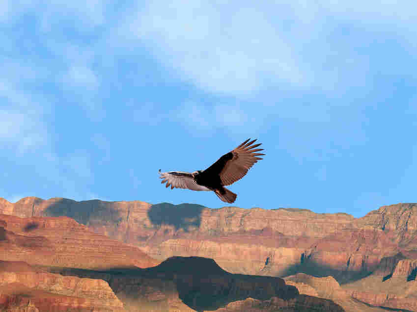 A California condor at Grand Canyon National Park, Arizona.