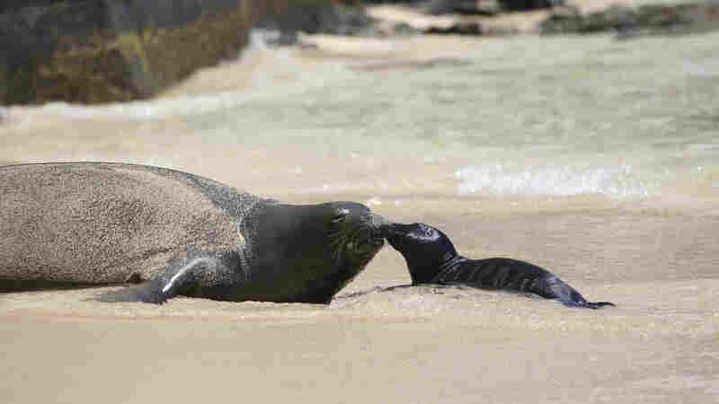 Hawaiian Monk Seal Treats Tourists To The Sight Of A Newborn Pup