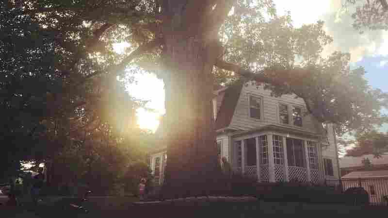 Alive Since The 1600s, An Oak Tree Is Taken Down In Washington, D.C.