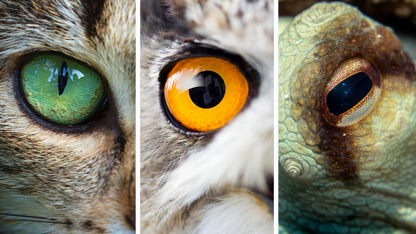 animal eyes eyeballs vision owl problems belong eyeball cat aids close kind collection octopus research sizes these species npr specimens