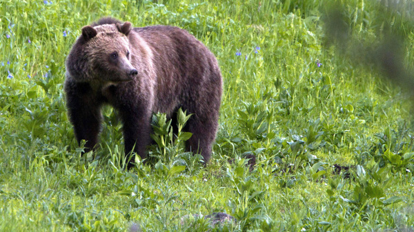 A grizzly bear roams near Beaver Lake in Yellowstone National Park, Wyo., in 2011.