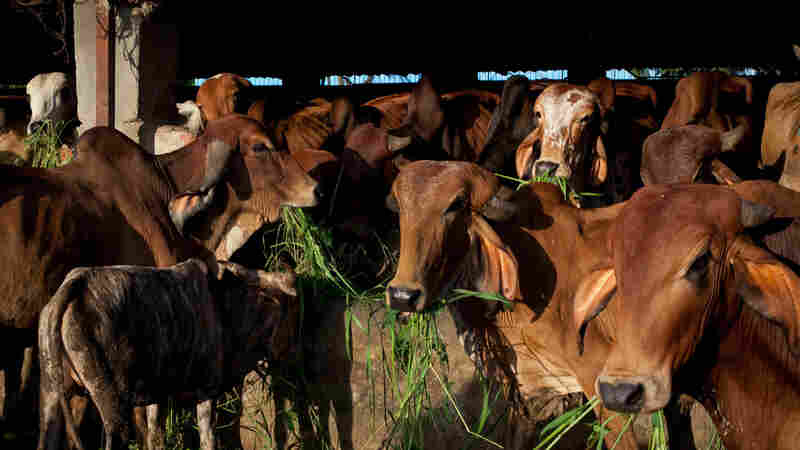 New Rules Against Animal Cruelty Raise The Stake For India's Beef Wars
