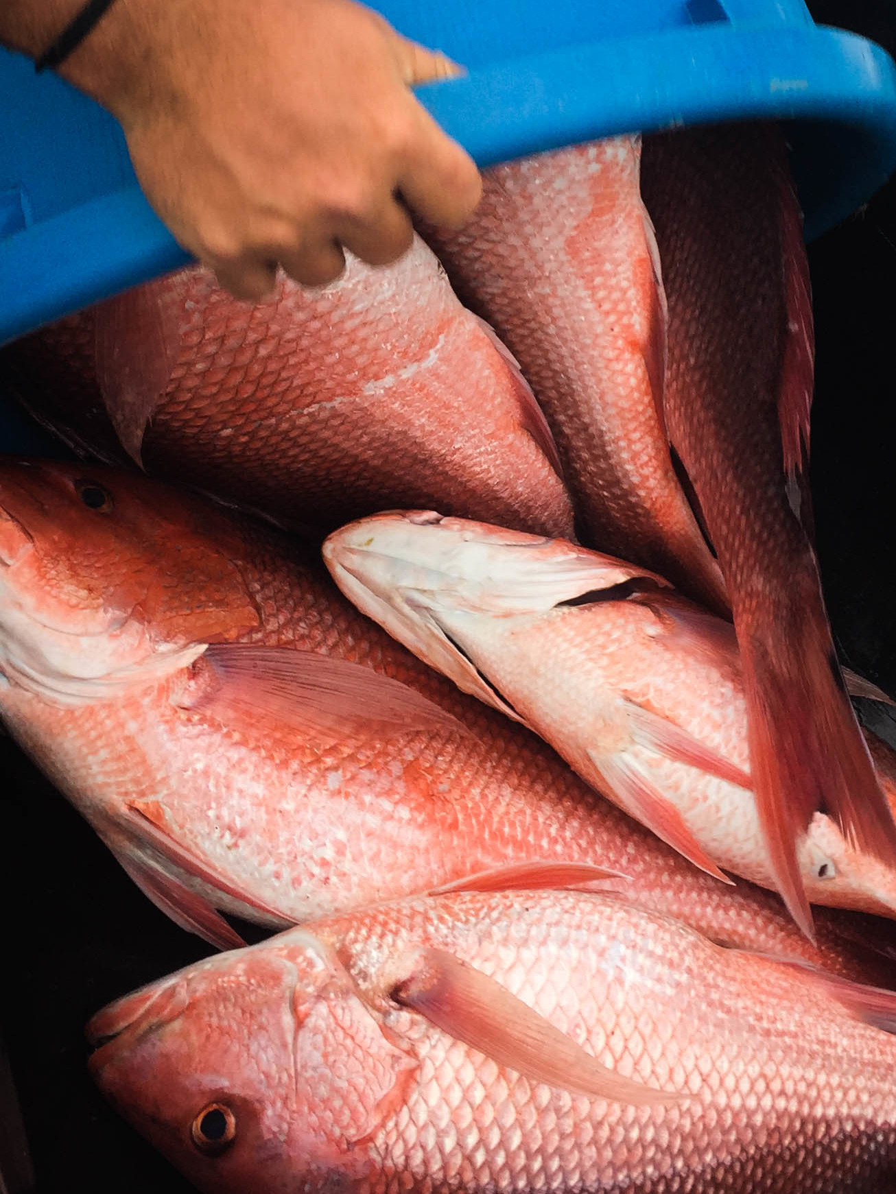 Recreational fishermen say red snapper are abundant in the Gulf of Mexico and question the stock assessments behind strict government quotas on the catch. (Debbie Elliott/NPR)