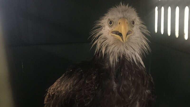 injured bald eagle found in nation s capital the two way npr