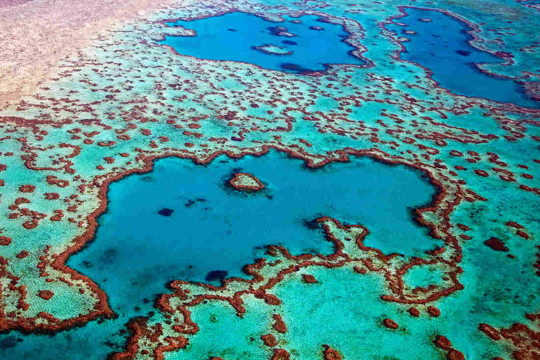 While Corals Die Along The Great Barrier Reef, Humans Struggle To Adjust