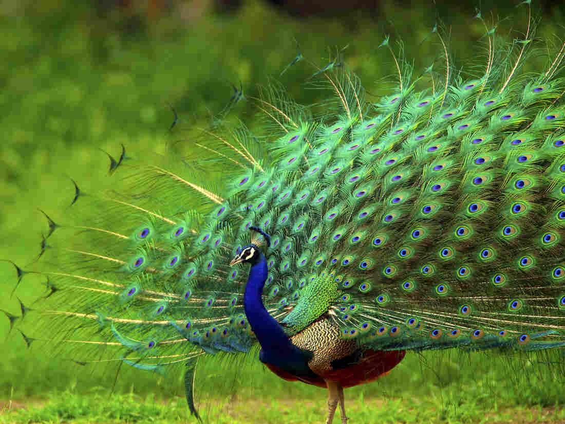 A peacock displays its brilliant plumage.