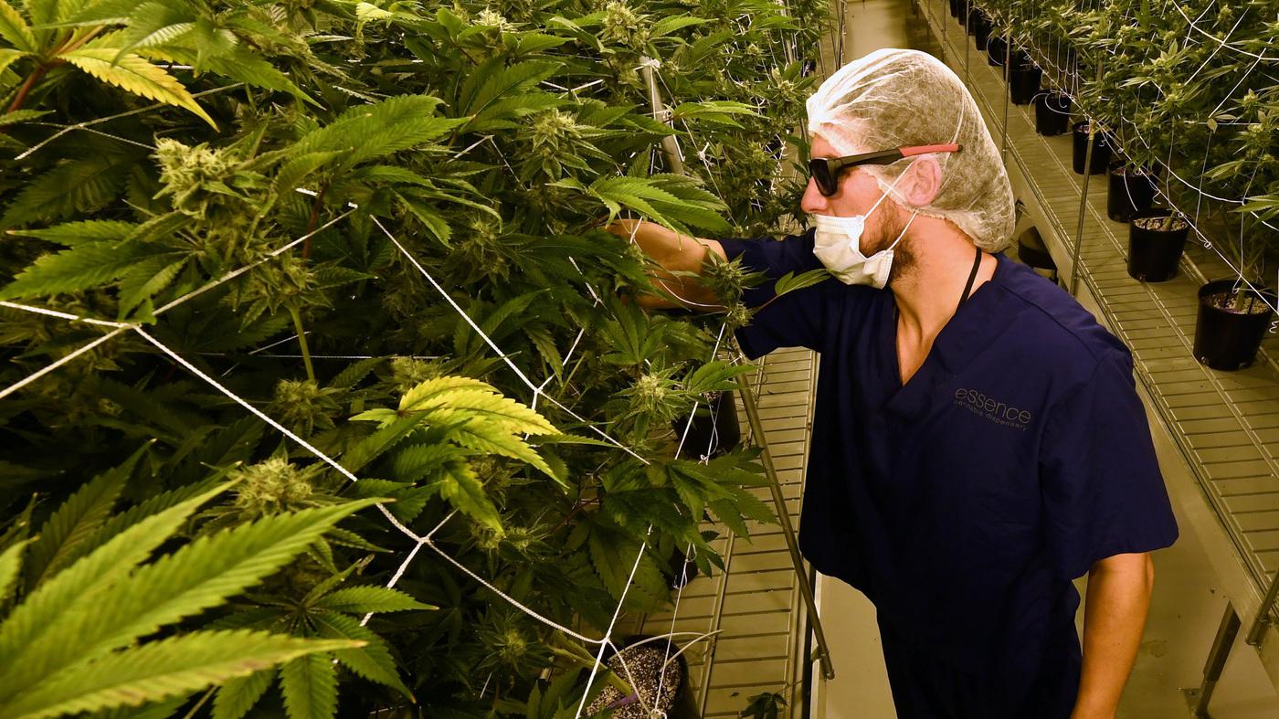 Legal marijuana npr marijuana shortage prompts emergency in nevada tax officials weigh changes biocorpaavc Images
