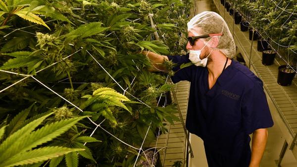 A man tends to marijuana plants at a 54,000-square-foot marijuana cultivation facility in Las Vegas. In Nevada