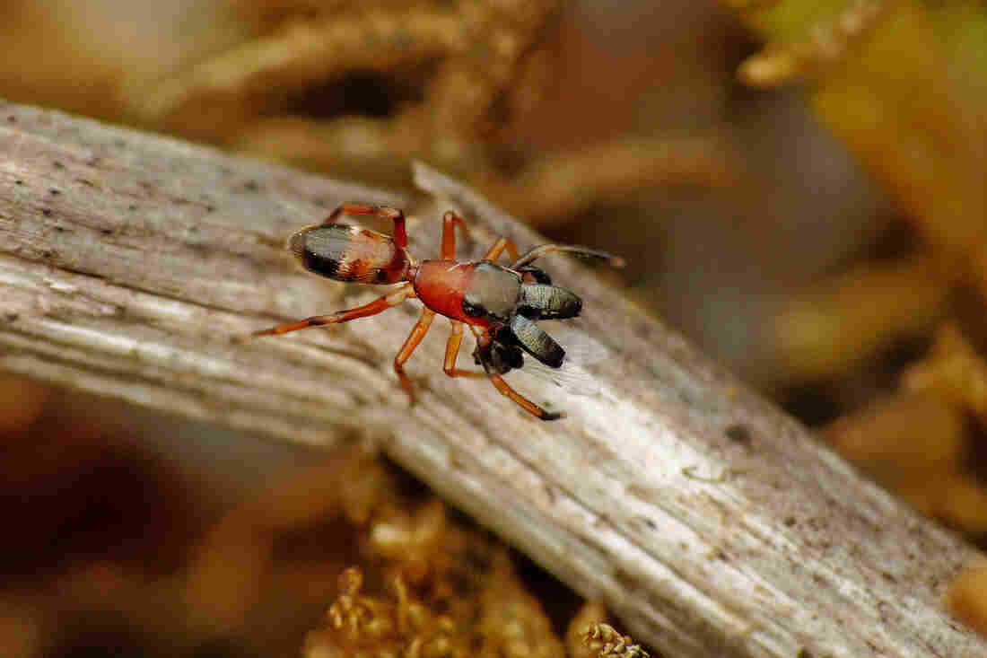 If It Walks Like An Ant, You Probably Wouldn't Eat It — Or So These Spiders Hope