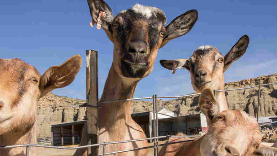 What's It Really Like To Work In A Prison Goat Milk Farm? We Asked Inmates