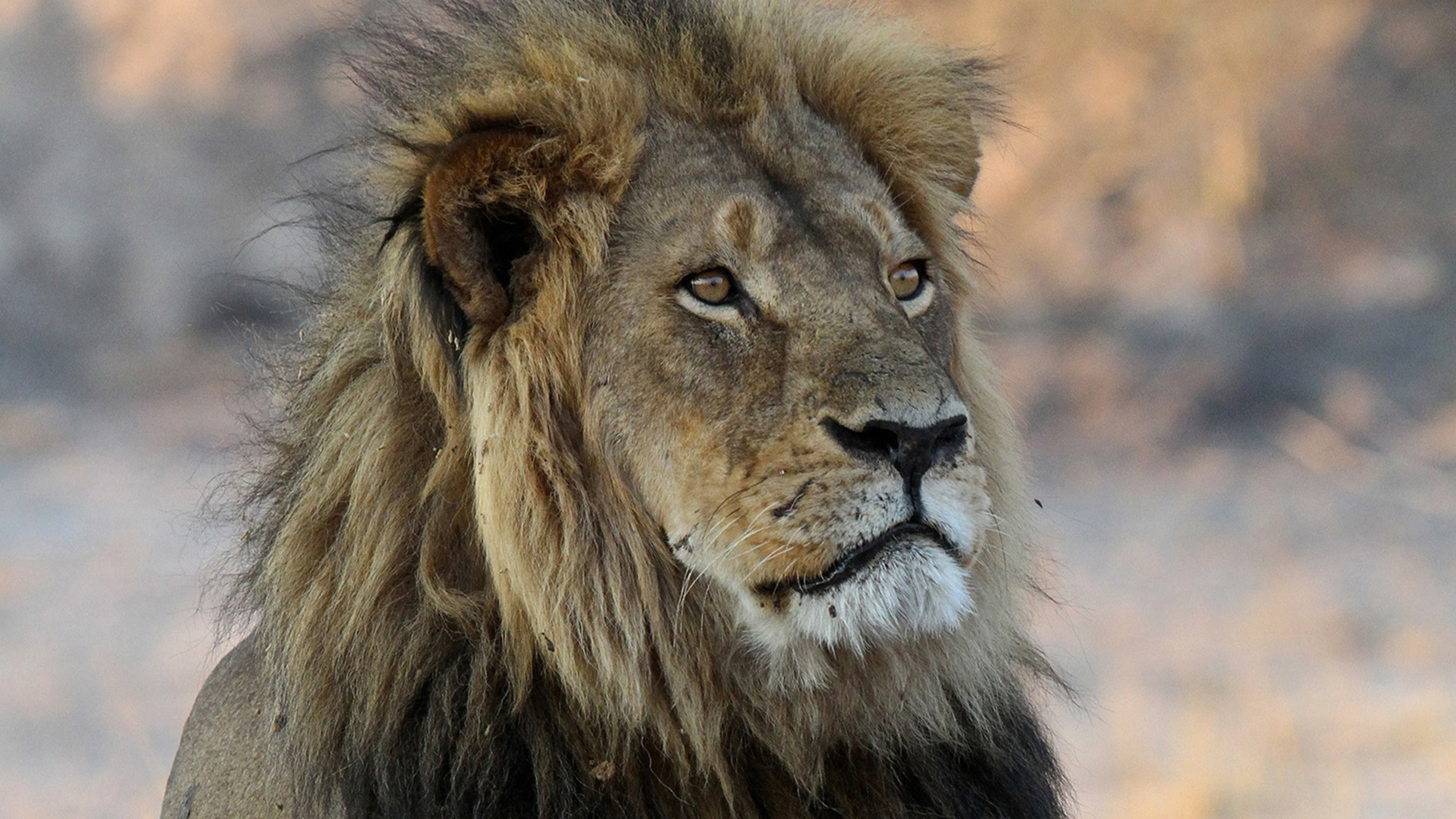 Trophy Hunter Killed Cecil The Lion's Son