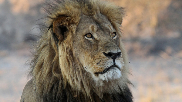 Cecil the lion, photographed in 2013, was killed by a trophy hunter in Zimbabwe in 2015. Two years later, his son Xanda came to the same end nearby.