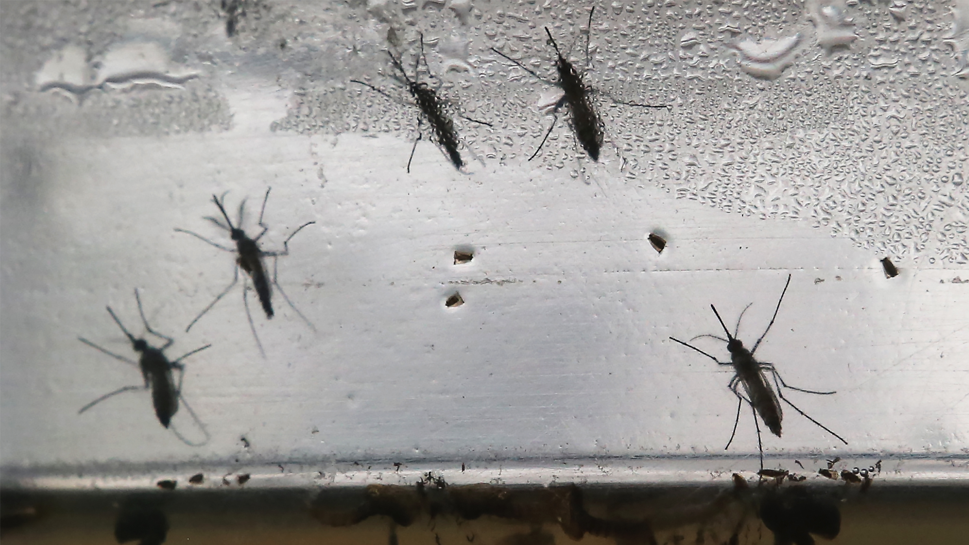 npr.org - James Doubek - To Shrink The Mosquito Population, Scientists Are Releasing 20 Million Of Them