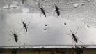 <em>Aedes aegypti</em> mosquitoes in various stages of development displayed in Brazil in 2016.