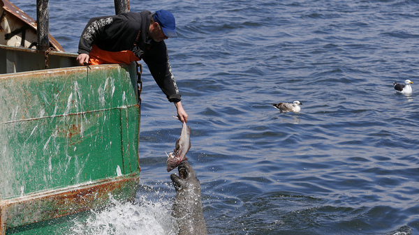 A fisherman holds out a fish for a seal off of a boat owned by Carlos Rafael in New Bedford, Mass. Rafael was the biggest fishing magnate in America