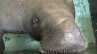 Snooty the manatee, seen here in 2013, died after becoming trapped in an underwater plumbing area, according to the South Florida Museum in Bradenton, Fla.