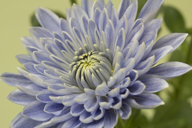 Photos Japanese Scientists Turn Chrysanthemums True Blue The