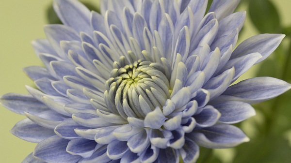 "A blue genetically engineered Taihei chrysanthemum. Scientists modified two genes to create the ""true blue"" flower."