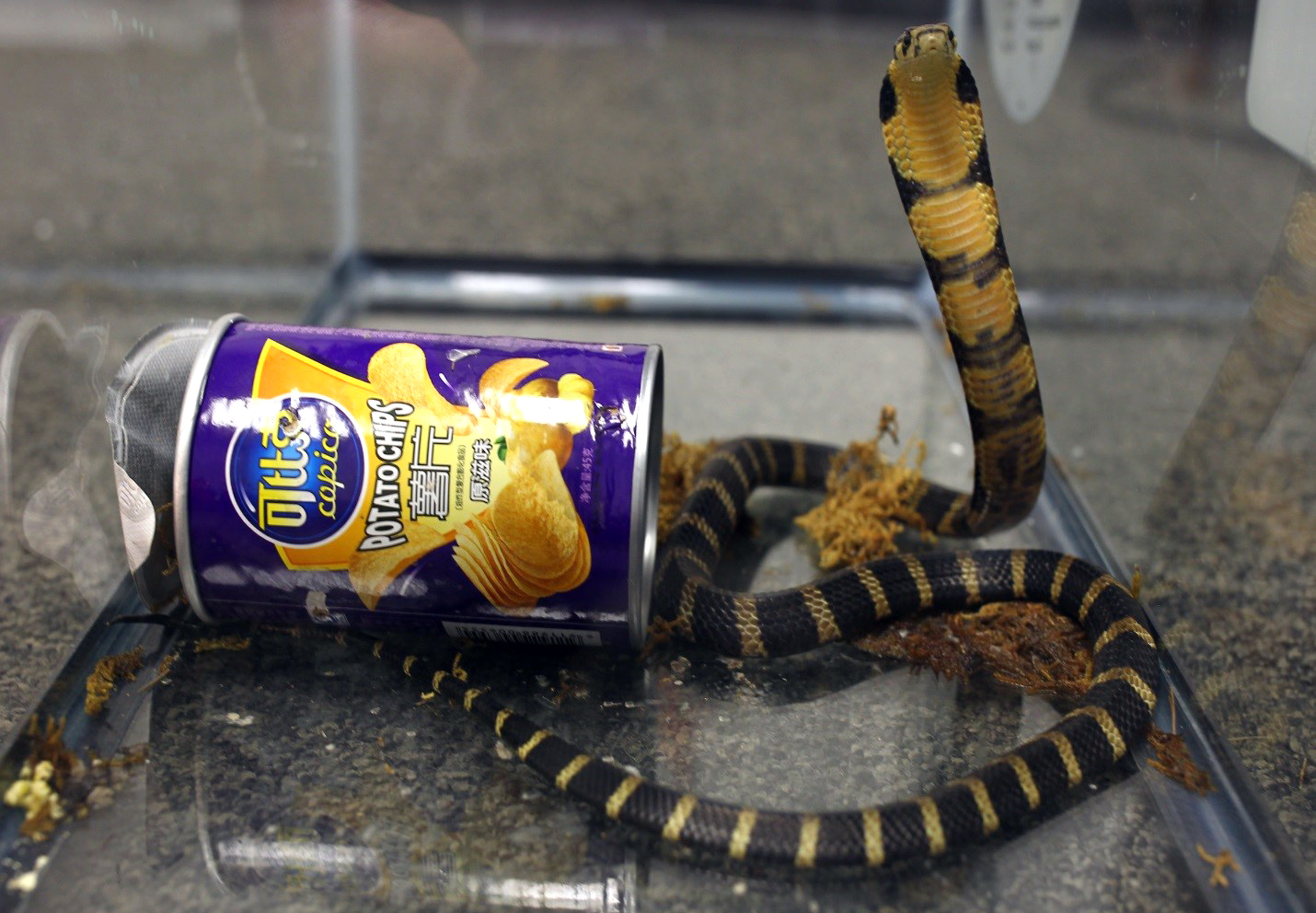 King Cobras In A Can: Deadly Snakes Arrive In U.S., Shipped As Potato Chips  : The Two-Way : NPR
