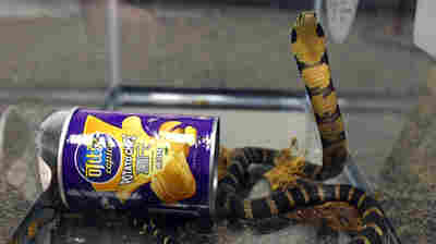 King Cobras In A Can: Deadly Snakes Arrive In U.S., Shipped As Potato Chips