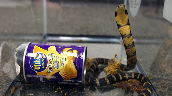 Three king cobras were on their way to a Los Angeles-area home when suspicious federal agents intercepted the package.